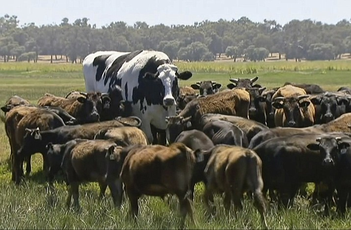 "In this image made from video taken Nov. 15, 2018, Knickers the steer, center back, is in paddock with cow herd in Lake Preston, Australia. A enormous steer in the state of Western Australia has avoided the abattoirs by being too big. The 194 centimeters-tall bovine, dubbed ""Knickers"", is believed to be the tallest in the country and weighs about 1.4 tons, local media reported. (Channel 7's Today Tonight via AP)"