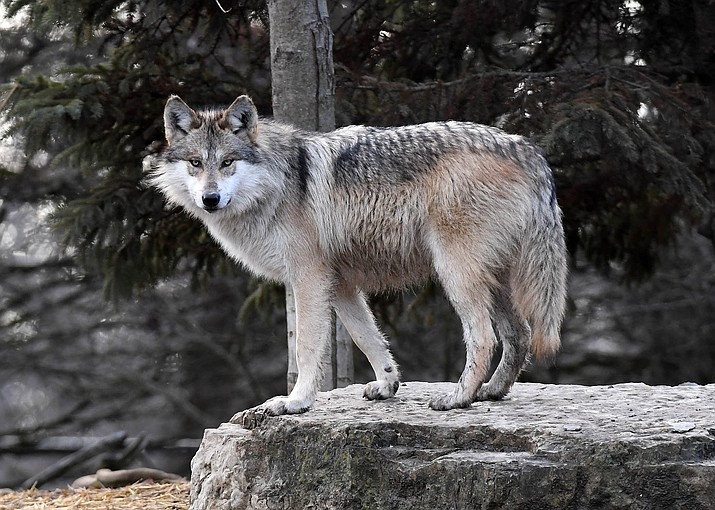 An Arizona man has pleaded guilty to shooting and killing an endangered Mexican gray wolf. (Photo courtesy of Jim Schultz)