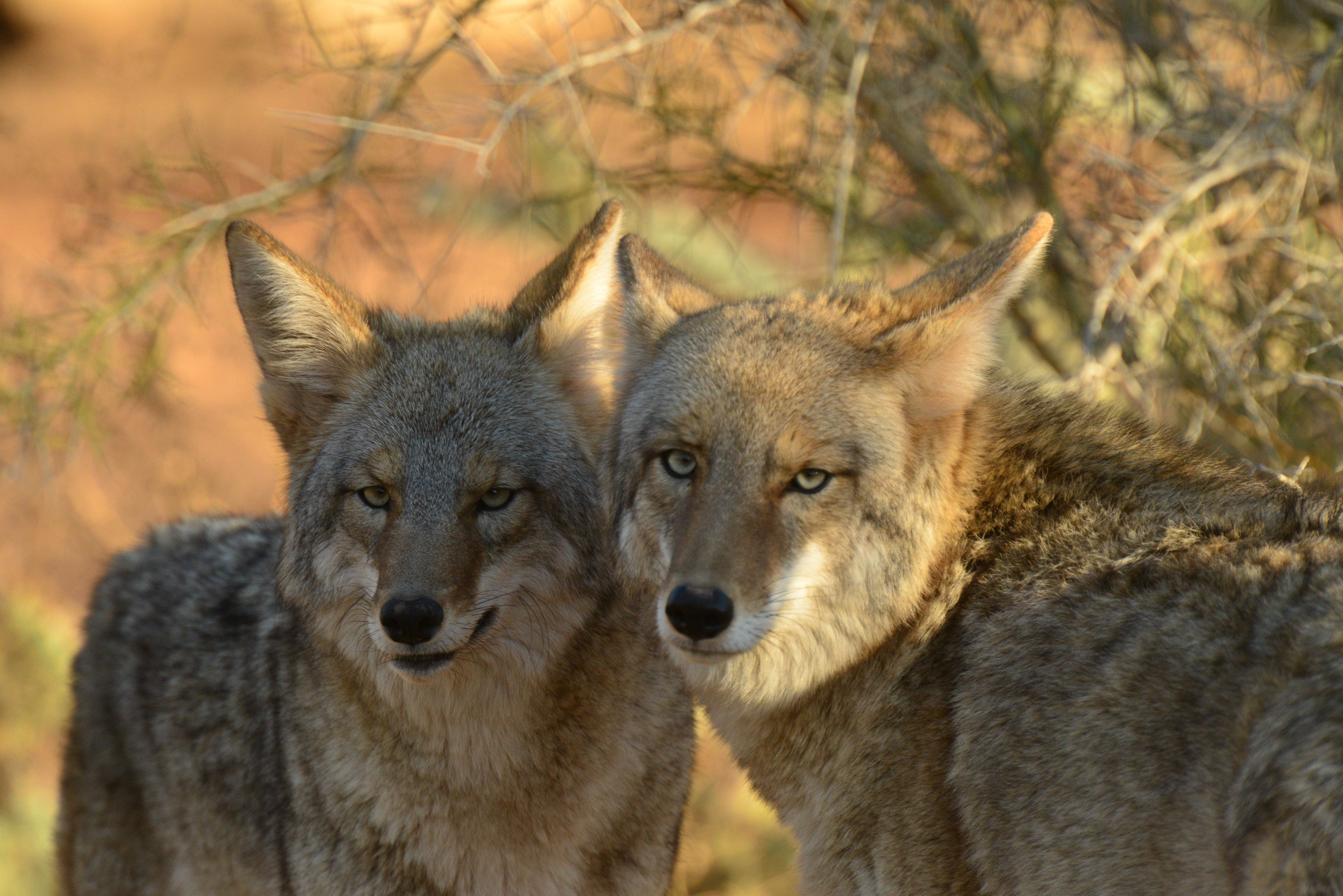 Predator killing contests rejected in Dewey-Humboldt | The