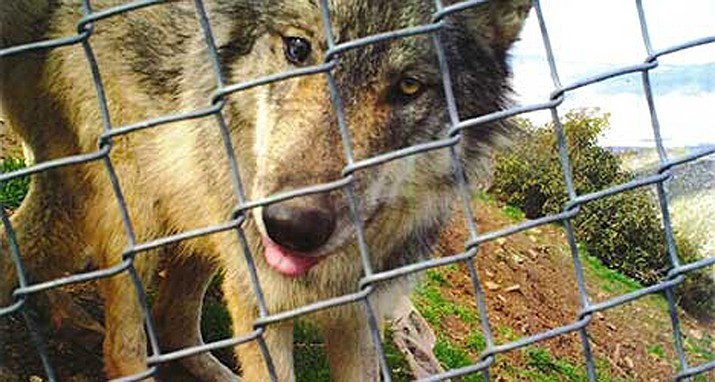 This 2018 photo provided by the California Wolf Center shows a young male Mexican wolf that escaped from the Colorado Wolf and Wildlife Center Nov. 11. (California Wolf Center via AP)emy (Photo/U.S. National Archives)