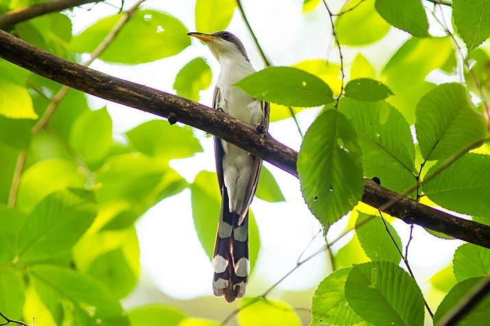 A yellow-billed cuckoo, a threatened species, which breeds on the property of Coldwater Farm. (Courtesy)
