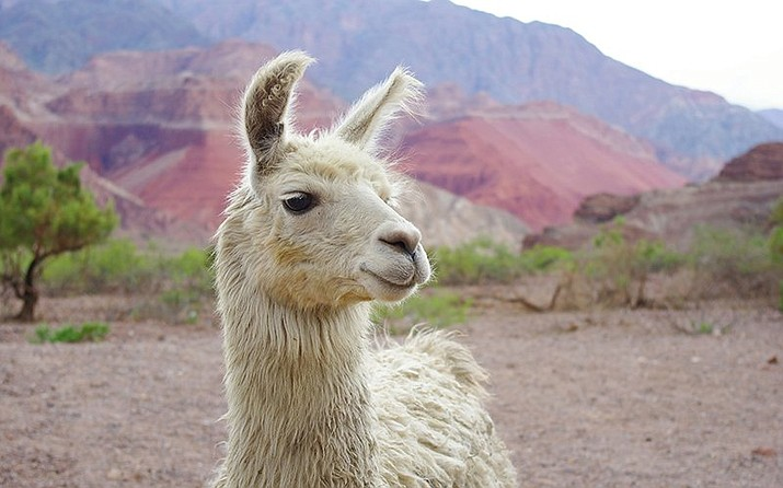 New research indicates llama antibodies could help prevent strains of the flu in humans. Antibodies from llamas, such as this one in Cafayate, Argentina, are smaller than human antibodies and bind more easily to viruses. (Photo by Omar Andres Leon Torres/Creative Commons)