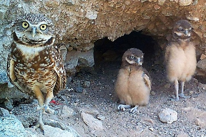 Arizona State University professor and biologist Kerrie Anne Loyd, who monitors owl populations in the area, says she's observed mated pairs in 45 active nests in the 12 washes that dissect Havasu. (Courtesy)