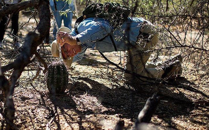 "Tom Orum reaches under a ""nurse"" tree to measure the smallest known saguaro in this part of Saguaro National Park East. (Photo by Nicole Neri/Cronkite News)"