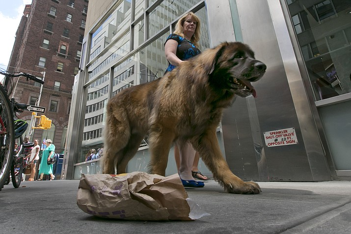 Morgan Avila walks Magnito, a Leonberger, as he ignores a food bag on a street during a demonstration of an urban canine good citizen test for city dogs Aug. 5, 2015, in New York. (Richard Drew/AP)