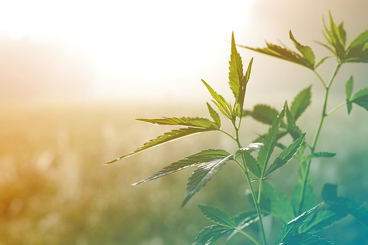 Progression towards industrial hemp production for the Navajo Agricultural Products Industry (NAPI) may provide economic benefits to the Navajo Nation. (Stock photo)