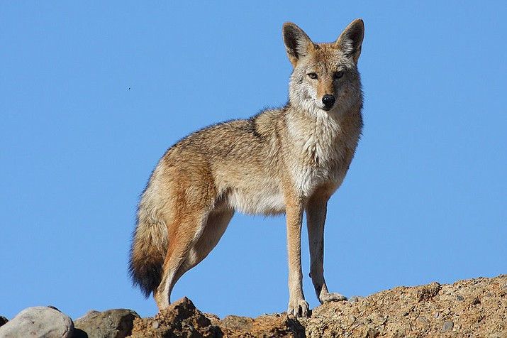 Coyotes are seen more commonly in the daylight hours when the weather turns cold. (Photo/USFWS)