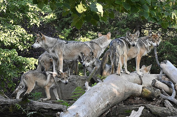 Five wolves were found dead in New Mexico in November, bringing the total for the year to 17. That marks the most wolves killed in any single year since the reintroduction effort began in 1998, and it's one of the deadliest months in the program's history. (Photo by Jim Schulz/Grand Canyon News)