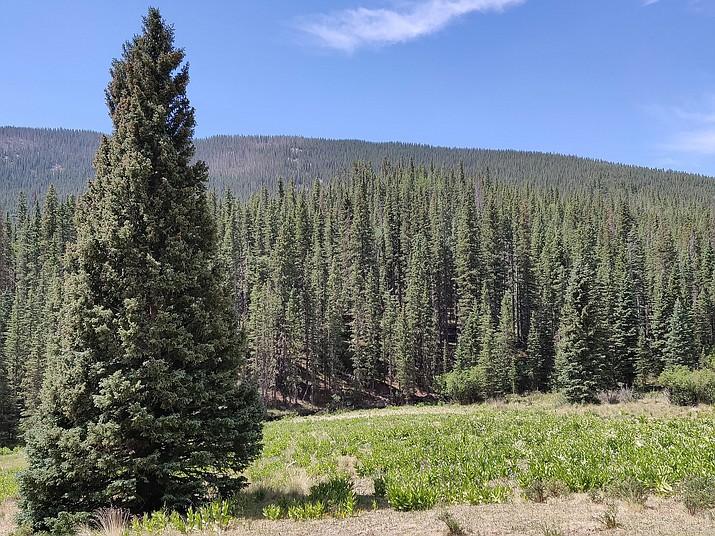 Colorado Spruce (Courtesy)