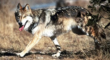 Record number of Mexican gray wolves found dead in 2018 photo