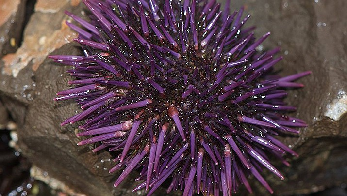 By stripping California's vast coastal kelp forests, purple sea urchins deprive many sea creatures of food and shelter. Unlike red urchins, purple urchins can't be used for the delicacy known as uni. (Photo by Jerry Kirkhart via Flickr/Creative Commons)