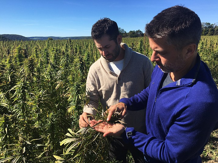 In this Sept. 25, 2016 photo, Dan Dolgin, left, and Mark Justh examine seeds from hemp plants on their JD Farms in Eaton, N.Y. (Mary Esch/AP)