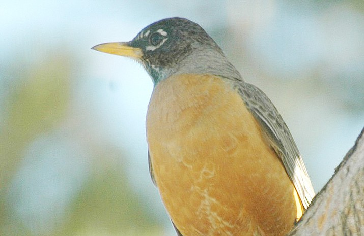 A male American robin. (Courtesy)