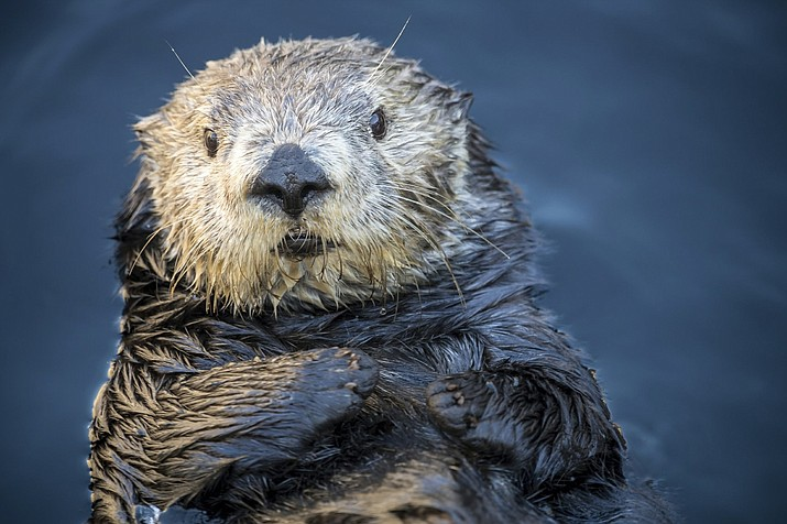 """This photo provided by Monterey Bay Aquarium shows Abby the Sea Otter at Monterey Bay Aquarium in Monterey, Calif. The aquarium on Wednesday, Dec. 19, 2018, apologized after some people perceived a tweet about the sea otter, that featured social media words and phrases, as body-shaming. The aquarium tweeted a multipart apology that it called a """"learning moment."""" (Monterey Bay Aquarium via AP)"""