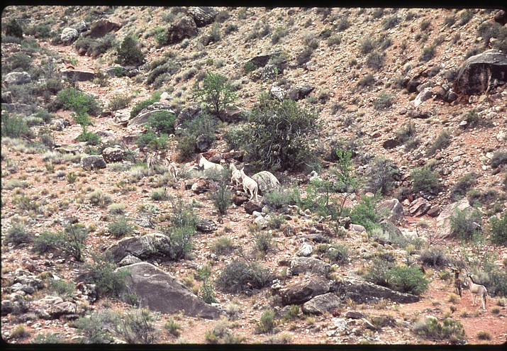 Feral burros once roamed the inner canyon. They were brought into the canyon to help miners work the lead, copper and asbestos mines more than 100 years ago —when the miners left, the burros were set free. (Photo/NPS)