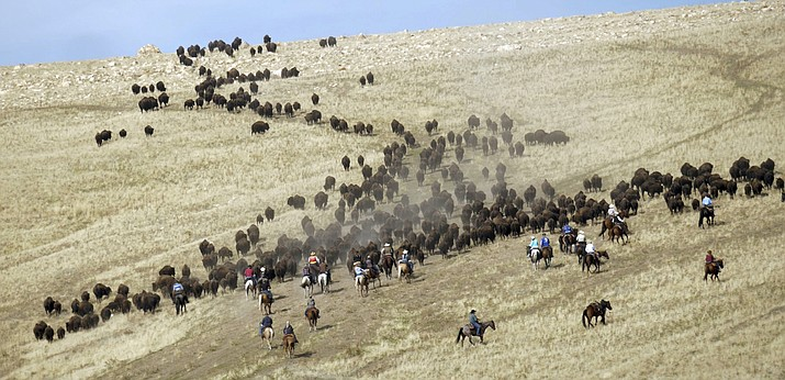 In this Oct. 27, 2018, file photo, riders on horseback herd bison during an annual roundup, on Antelope Island, Utah. This year, about 700 bison were pushed into corrals during the 32nd year of a roundup that conjures memories of a bygone era of the American West. The animals are rounded up each fall so they can receive health checkups and vaccinations and be affixed with a small external computer chip that stores health information. They are then released back on the island or sold at a public auction to keep the herd at a manageable level of about 500. (AP Photo/Rick Bowmer, File)
