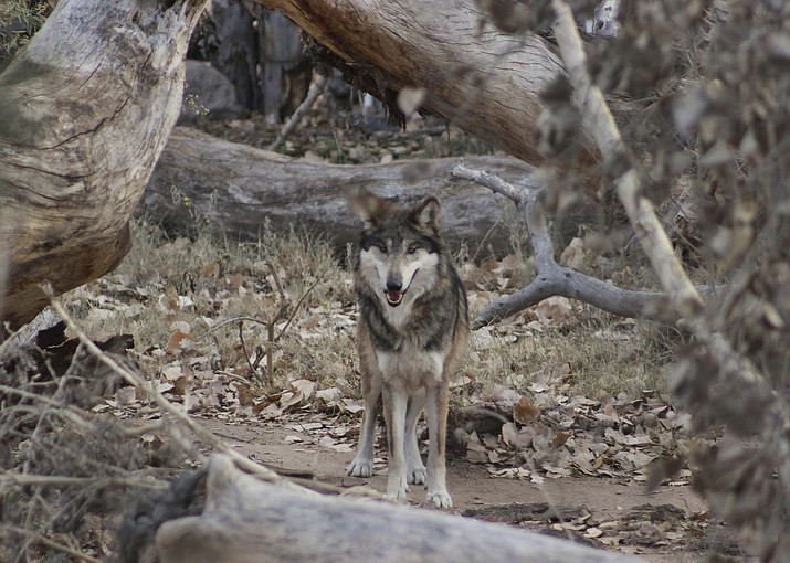 A Mexican gray wolf is introduced at the ABQ BioPark in Albuquerque, New Mexico. The Albuquerque Zoo said Dec. 27, it received the wolf earlier this month from the Binder Zoo in Michigan, as part of an international recovery effort that includes breeding the endangered animals in captivity to ensure their genetic viability. (Tina Deines/ABQ BioPark via AP)
