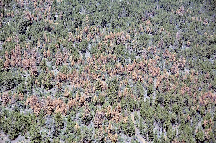 This Oct. 21, 2018 photo provided by the U.S. Forest Service in December 2018 shows dead ponderosa pine trees on the Apache-Sitgreaves National Forest near Overgaard, Ariz. Aerial surveys of forested land in Arizona and New Mexico show large swaths of dead trees following an unusually dry winter that aided pests such as bark beetles. (U.S. Forest Service via AP)