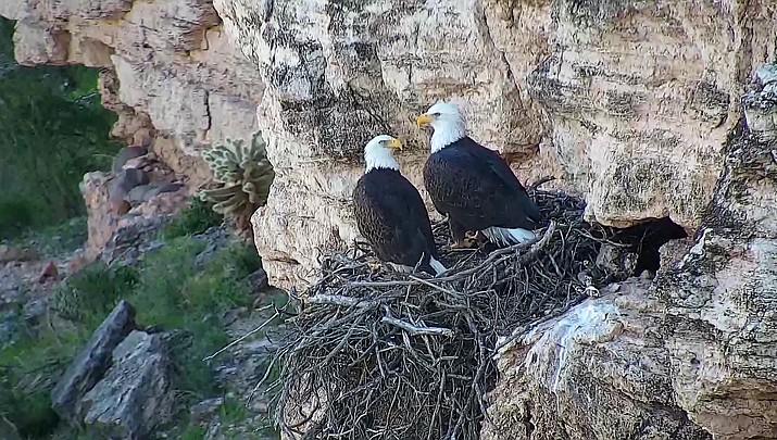 Bald eagle web cam captures real-time drama of survival