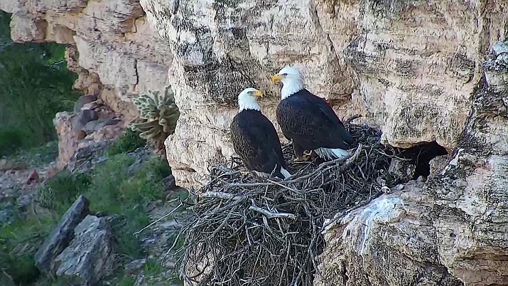 During the 2018 breeding season, a record 87 young hatched and 70 reached the important milestone of their first flight, known as fledging. (photo/AZGFD)