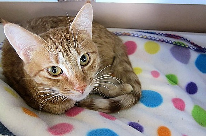 Solara is a beautiful orange tabby, about 2 years old.