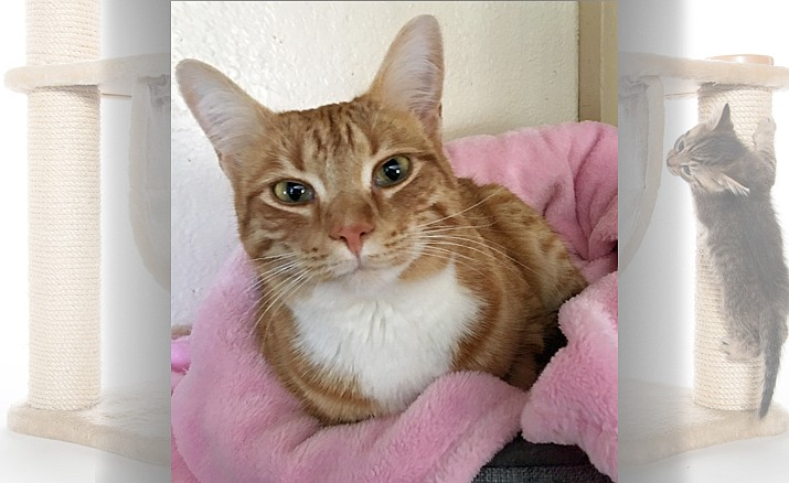 Stella, approximately, 2 years old, is a cute little orange tabby girl.