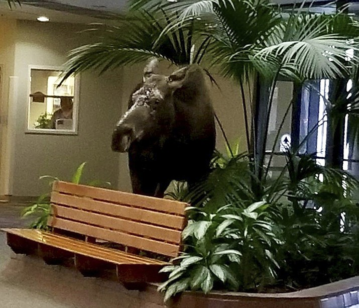 This Jan. 7, 2019, photo provided by Anchorage Regional Hospital shows a moose that had wandered into its therapy facility in Anchorage, Alaska, through doors that were stuck open because of extreme cold temperatures. The moose chomped on some plants in the lobby and stuck around for about 10 minutes before leaving the building. (Alaska Regional Hospital via AP)