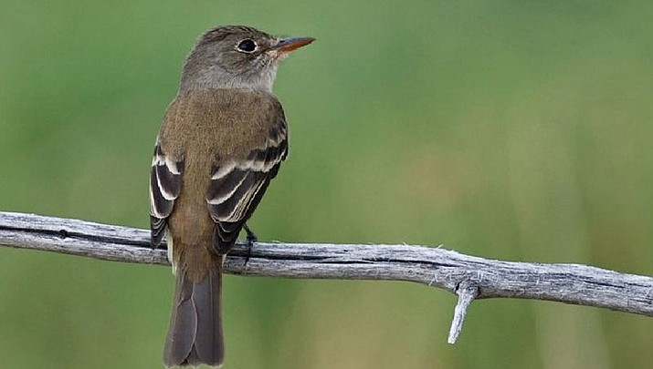 The U.S. Fish and Wildlife Service listed the southwestern willow flycatcher as endangered in 1995. There are an estimated 600 to 800 breeding pairs of the songbird scattered across the West. (Photo courtesy of Natural Resources Conservation Service Colorado, USDA)