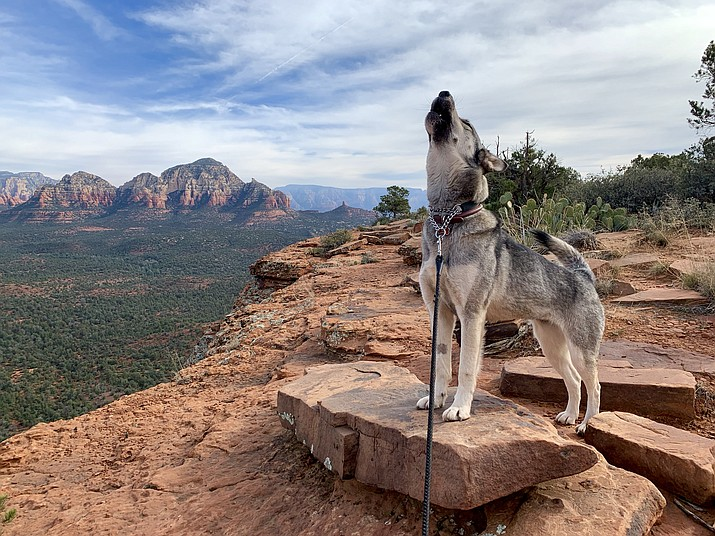 Echo howls as she stands on the edge a cliff at Doe Mountain in Sedona and howls in the wilderness overlooking Boynton Canyon, Fay Canyon and Long Canyon. Photo courtesy Krystalynn Gordon