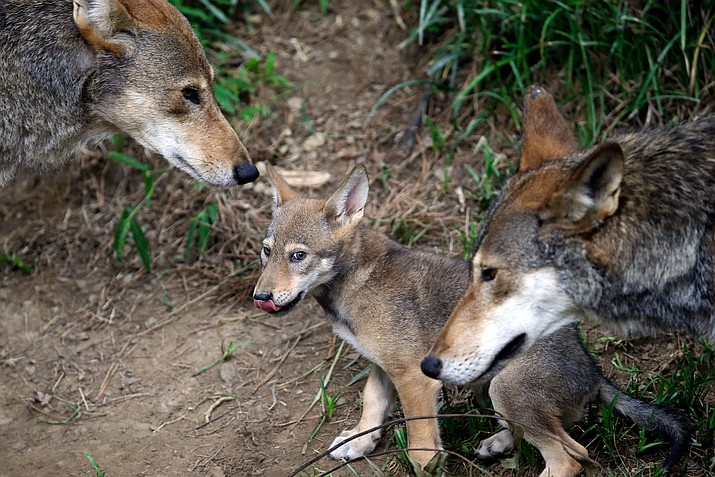 In this June 13, 2017, file photo, the parents of this 7-week old red wolf pup keep an eye on their offspring at the Museum of Life and Science in Durham, N.C. A pack of wild canines found frolicking near the beaches of the Texas Gulf Coast have led to the discovery that red wolves, or at least an animal closely aligned with them, are enduring in secluded parts of the Southeast nearly 40 years after the animal was thought to have become extinct in the wild. (Gerry Broome/AP, file)