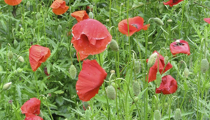 Poppies are tougher than they look and can be sown early | The Daily