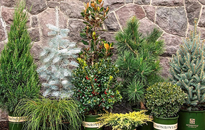 These local evergreens can brighten winter landscapes and add just the right splash of color to your lawn, garden or decorations. (Courtesy)