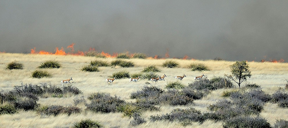 A herd of pronghorn run from a fast moving wildland fire burns along the north side of Highway 89A between Glassford Hill Road and Granite Dells Parkway Monday Jan. 21, 2019 in Prescott Valley. (Les Stukenberg/Courier).
