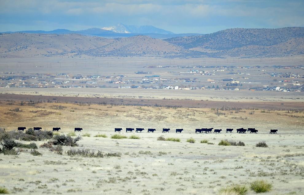 Cows move from the path of a fast moving wildland fire burns along the north side of Highway 89A between Glassford Hill Road and Granite Dells Parkway Monday Jan. 21, 2019 in Prescott Valley. (Les Stukenberg/Courier).