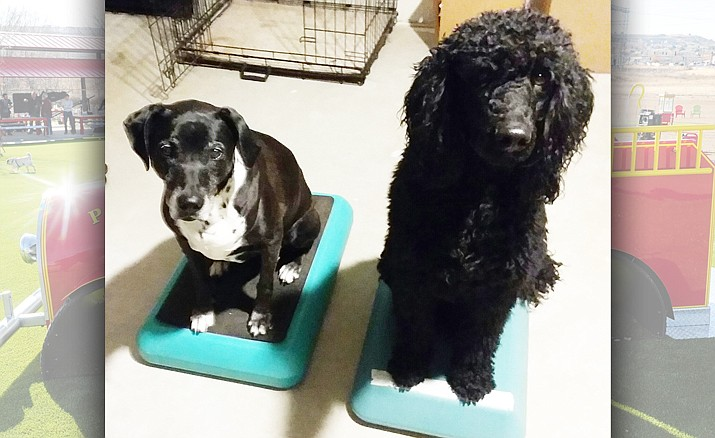 Lacy and BoJay love the platforms and know that treats will follow any good tricks. (Courtesy)
