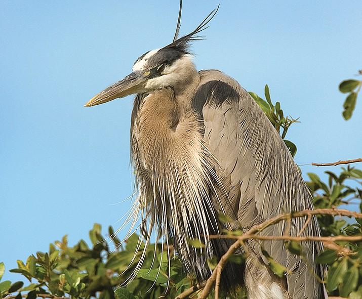 Great Blue Heron. (Metrographics)