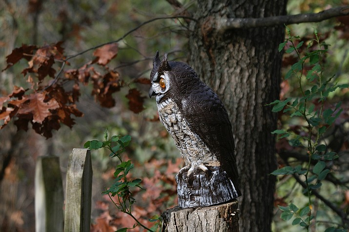 This undated photo shows an owl decoy placed prominently on a tree stump. Predator-like decoys can lessen the degree of woodpecker damage but unless they're moved from time to time, won't discourage them for long. (Dean Fosdick via AP)