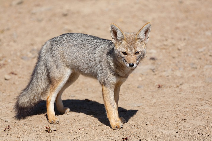 There are three species of foxes in Arizona - the red fox, kit fox, and gray fox. (Photo/Adobe stock)