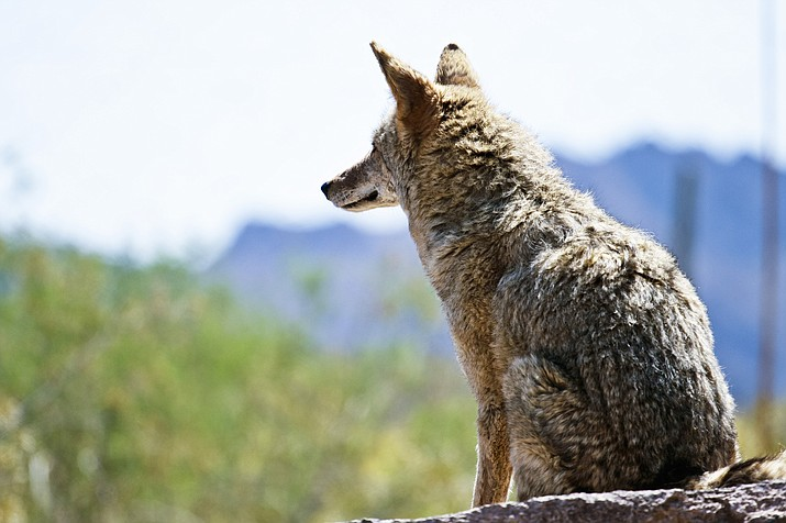 Animal rights activists and concerned Arizona residents are petitioning Coconino County Board of Supervisors to sign a resolution against wildlife hunting contests. Some hunters believe these contests are a sustainable and necessary way of controlling coyote populations. (Photo/Adobe stock)