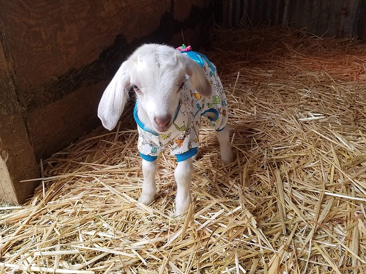 A baby goat currently at Luck is Up Animal Rescue. (Daynelle Schott/Courtesy)