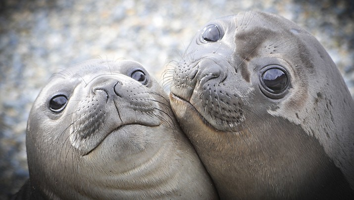 A colony of elephant seals like these took over a beach in Point Reyes National Seashore in Northern California. (Adobe Image)