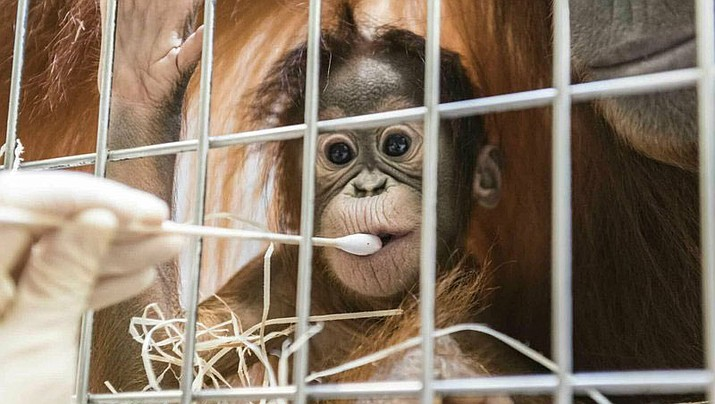 In this undated photo, released Thursday Jan. 31, 2019, by Zoo Basel, zoo keepers routinely take DNA samples from female orangutan cub Padma to determine her paternity at the Basel Zoo. (Zoo Basel photo)