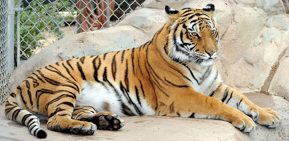Prescott - August 16, 2010.Brett Soldwedel/The Daily Courier.Cassie, a 4-year-old female Bengal tiger, came from the zoo in Royal Nebraska and arrived at Heritage Park Zoo in January 2009. Bengals are the second largest tiger in the world and Cassie weighs in at 340 lbs.