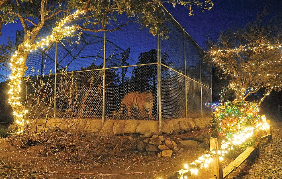 Prescott 11-20-12.Matt Hinshaw/The Daily Courier.The Heritage Park Zoo's Bengal Tiger Cassie paces in her cage during a preview of the Wildlights and Animal Sights Tuesday evening in Prescott.  Wildlights and Animal Sights will be open to the public every Friday and Saturday evening from 6:00pm to 9:00pm starting November 23 through December 29.