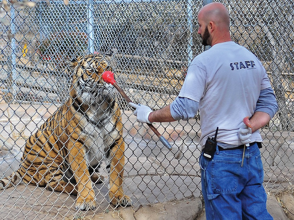 Prescott 01-23-13.Matt Hinshaw/The Daily Courier.Heritage Park Zoological Sanctuary Keeper Curtis Harkrader works on targeting with Bengal Tiger Cassie Wednesday morning in Prescott.
