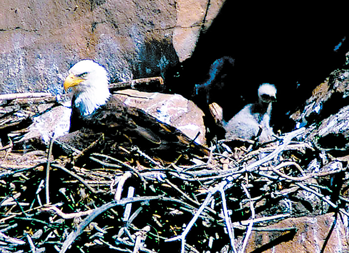 Today, there are an estimated 69 breeding pairs of bald eagles in Arizona, according to Game & Fish, and a record 87 breeding sites. VCRR courtesy photo
