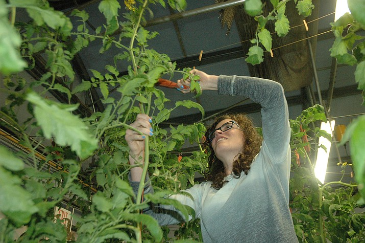 Charlea Slocum prunes a tomato plant during lab time in the Wednesday, Jan. 30, class at the Yavapai College Agribusiness and Science Technology Center. (Jason Wheeler/Review)