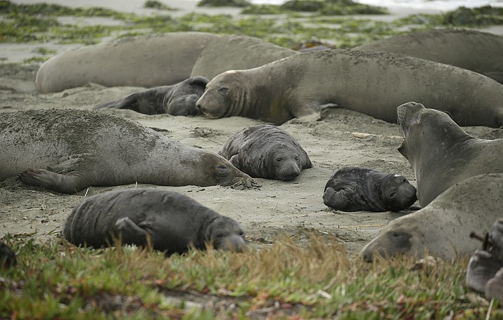 Elephant seals and their pups occupy Drakes Beach Feb. 1 in Point Reyes National Seashore, California. Tourists were unable to visit a popular beach in Northern California that was taken over by a colony of nursing elephant seals during the government shutdown. (Eric Risberg/AP)