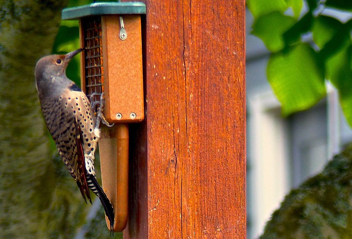 This Oct. 4, 2014 photo shows a Northern Flicker feeding at an oversized suet feeder built especially for woodpeckers. Some birds are more aggressive eaters than others so it's wise to feed at different locations using different kinds of seeds and feeders. (Dean Fosdick via AP)