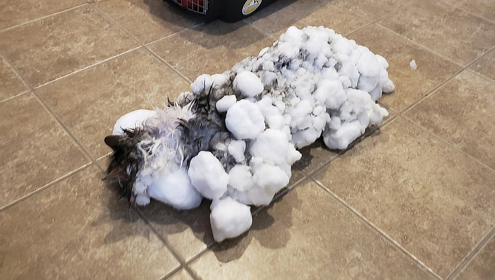 """Pictured is a cat named """"Fluffy"""" covered in snow and ice after her owners found her in a snowbank in Kalispell, Mont. last week. Veterinarians in Montana revived Fluffy that nearly froze to death after being found in a snowbank covered from head to tail in ice and snow. (AP Photo)"""